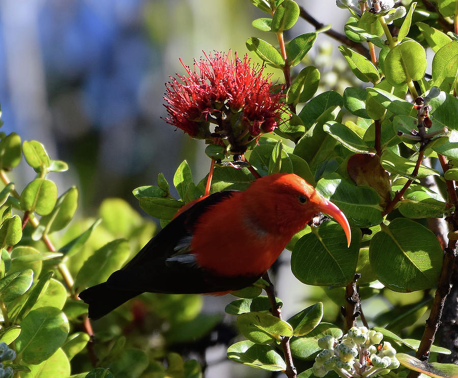 I'iwi the Honeycreeper by Pamela Walton