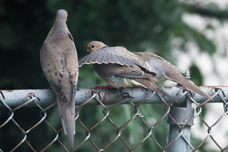 Ill Always Be There For You Mourning Doves Photograph