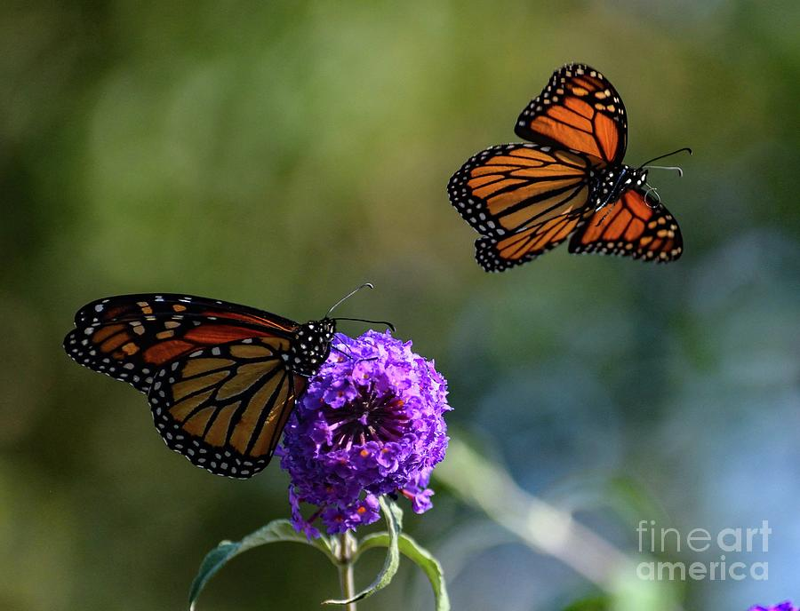 Ill Fly Away - Monarch Photograph