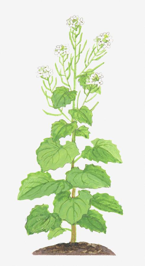 Illustration Of Alliaria Petiolata Digital Art by Ann Winterbotham