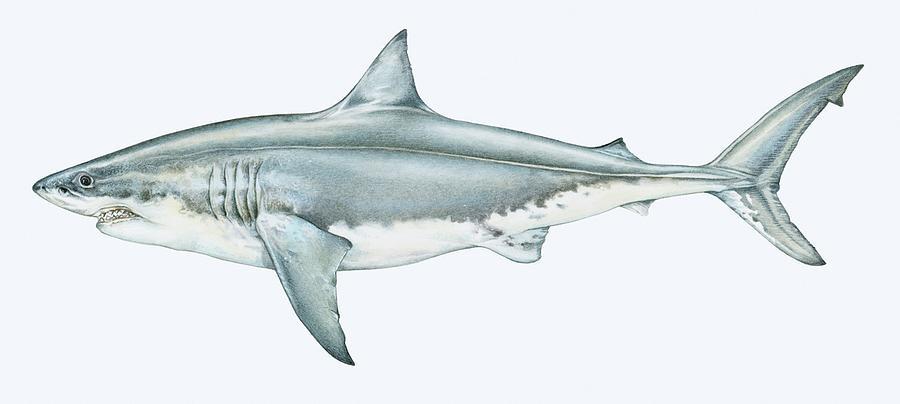 Illustration Of Great White Shark Digital Art by Dorling Kindersley