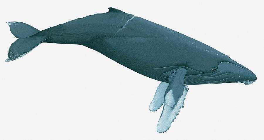 Illustration Of Humpback Whale Digital Art by Dorling Kindersley
