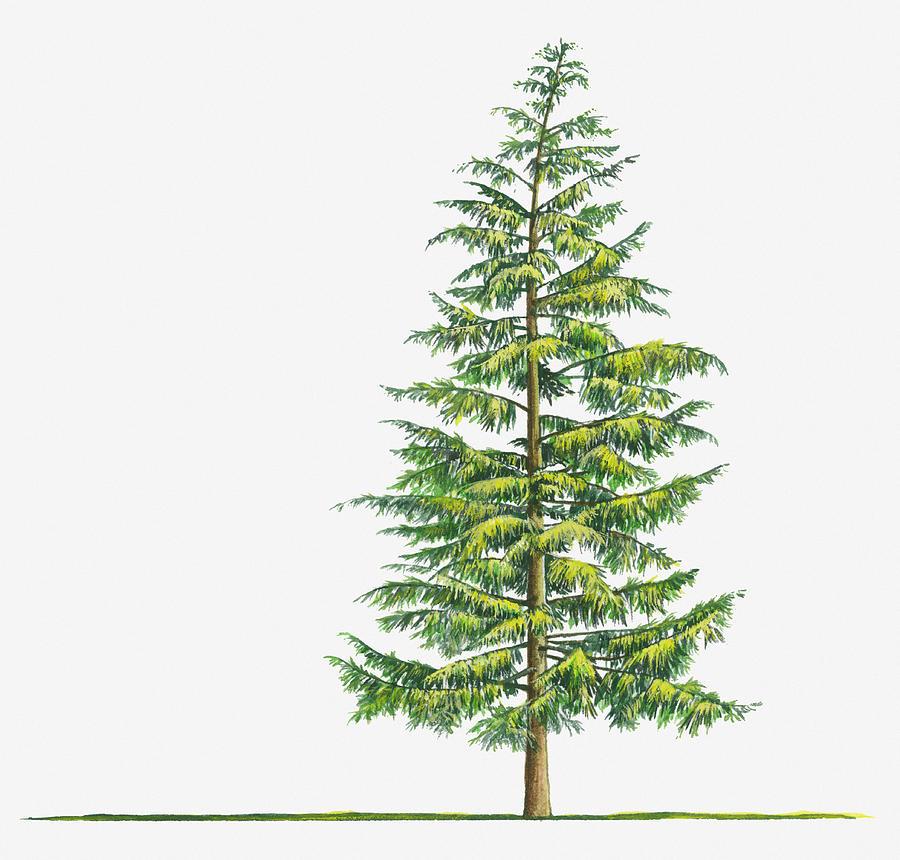 Illustration Of Large Evergreen Tsuga Digital Art by Sue Oldfield
