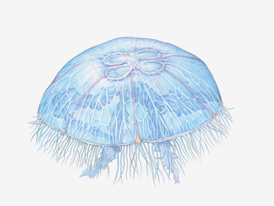 Illustration Of Moon Jellyfish Aurelia Digital Art by Dorling Kindersley