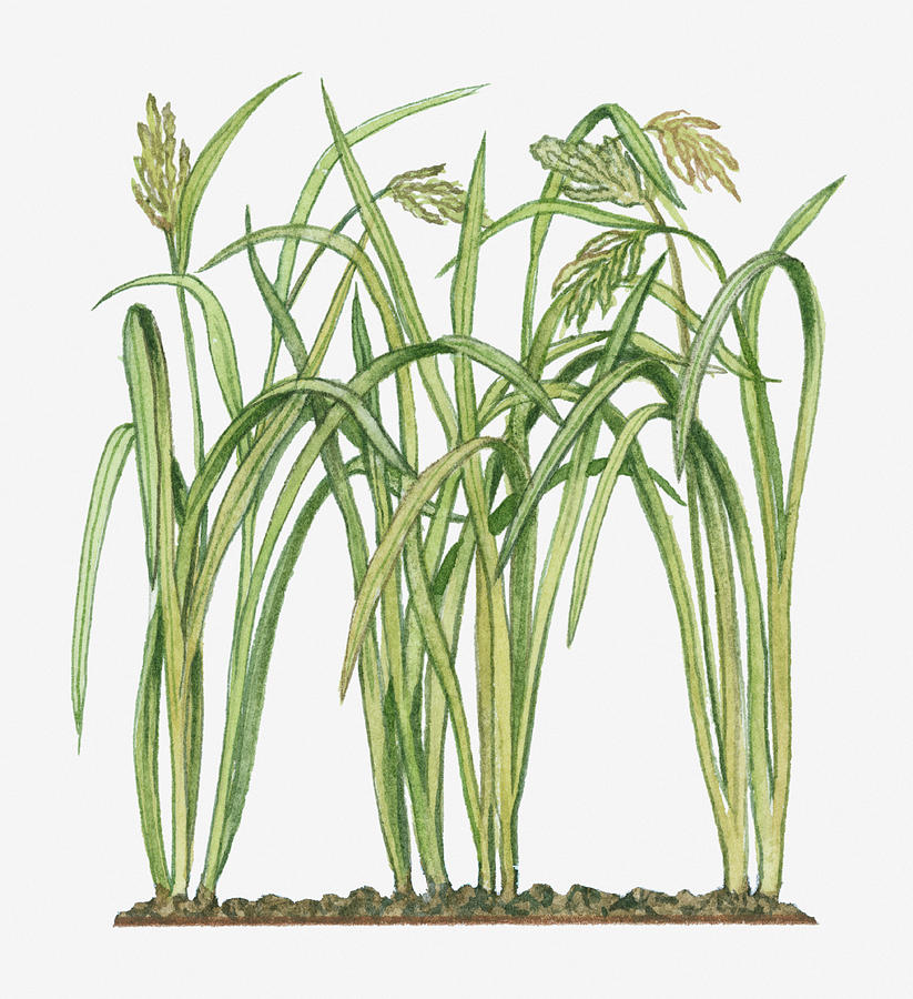 Illustration Of Oryza Sativa Asian Rice Photograph by Michelle Ross