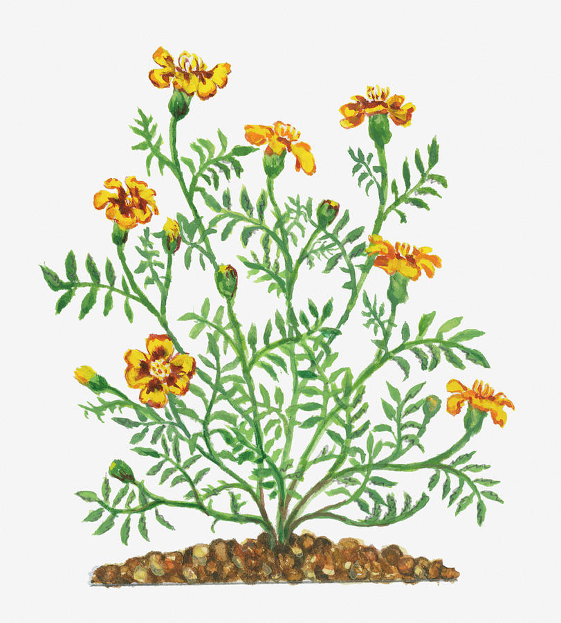 Illustration Of Tagetes Patula French Digital Art by Dorling Kindersley