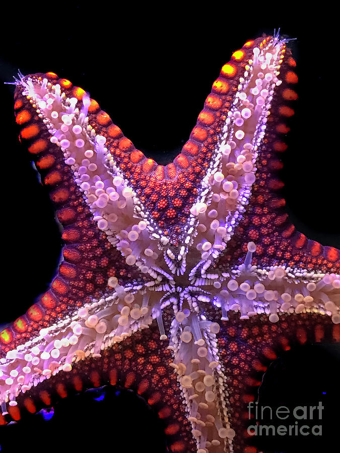 Starfish Photograph - Im A Star by Karen Adams