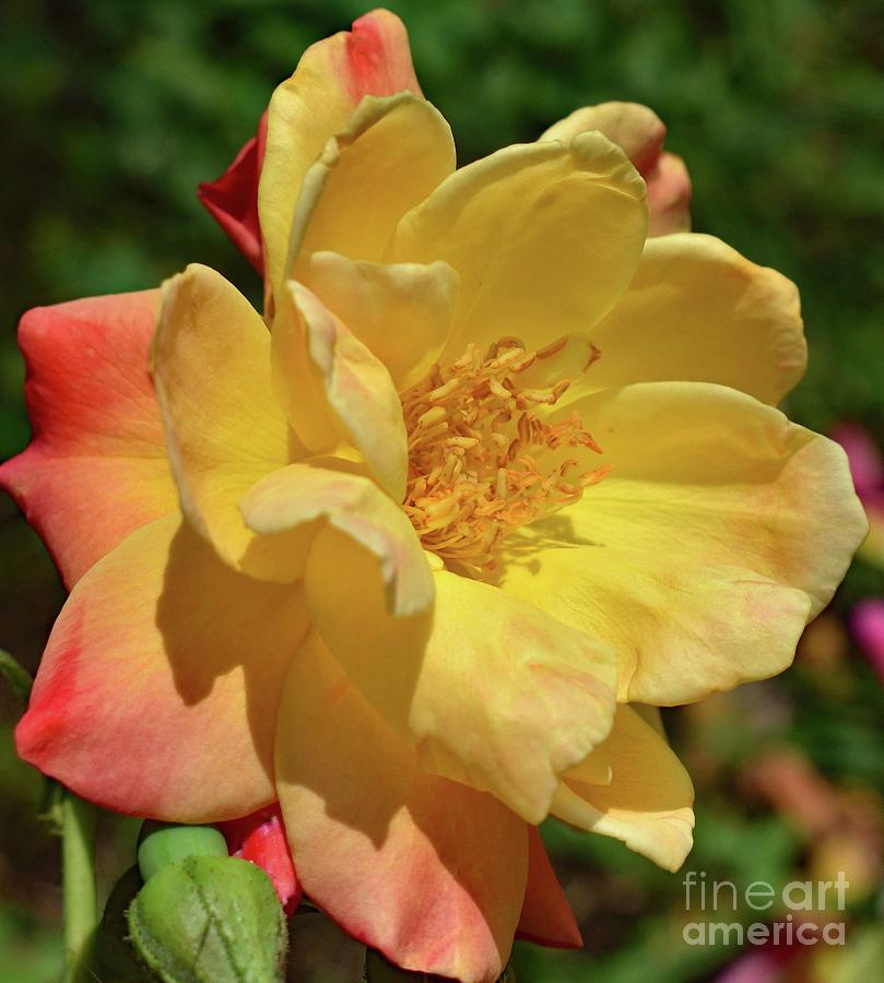 Immaculate Josephs Coat Of Many Colors Rose Photograph