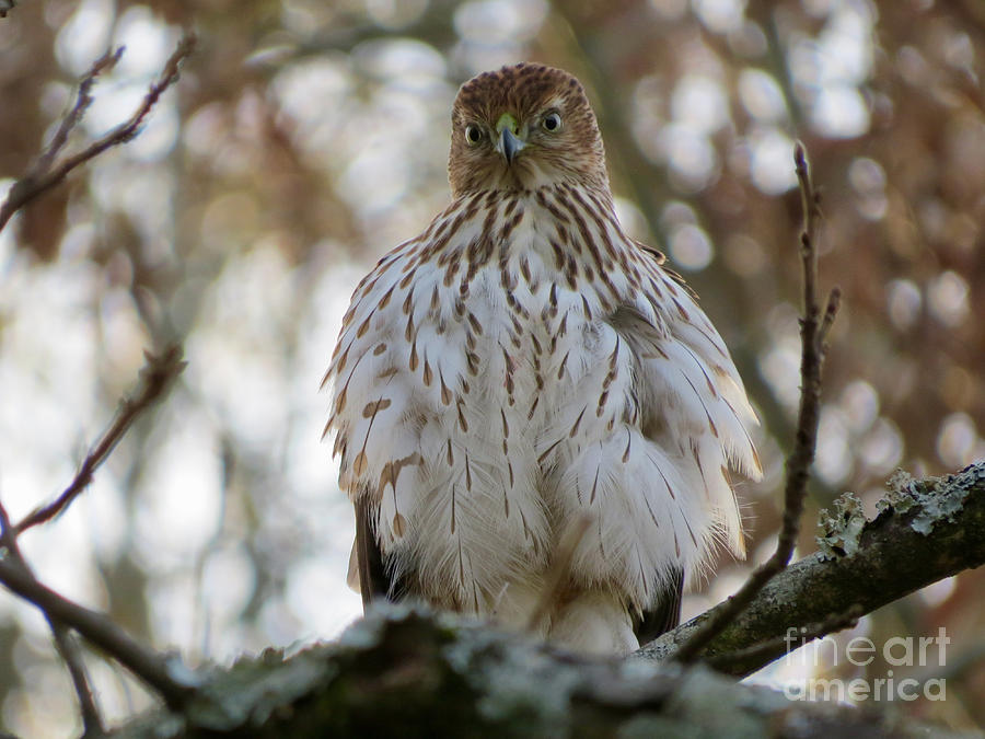 Immature Sharp-shinned Hawk Photograph