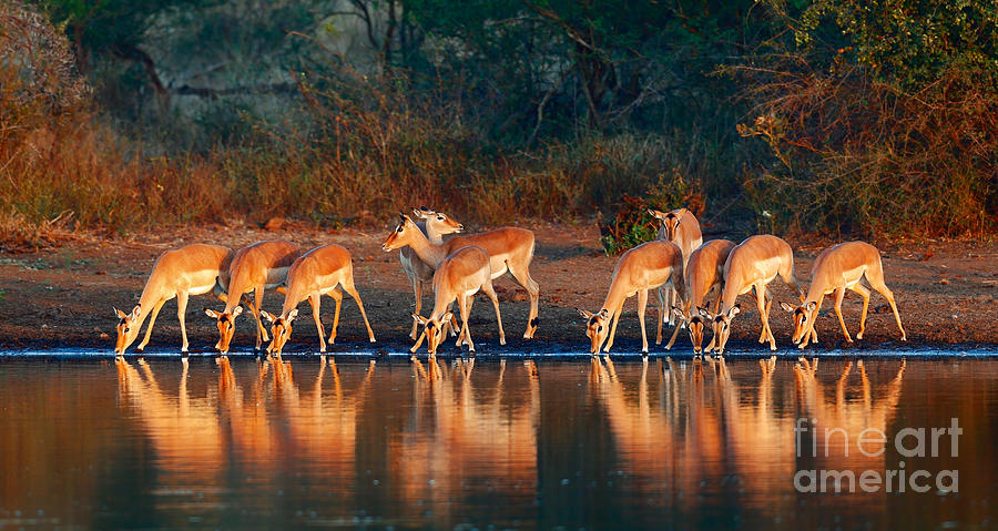 South Photograph - Impala Herd Aepyceros Melampus Drinking by Johan Swanepoel