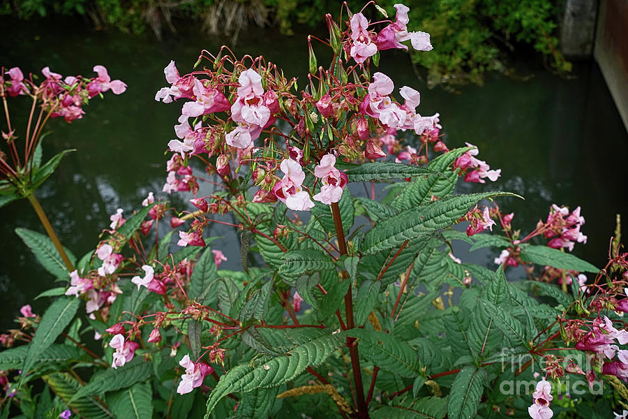 Impatiens Glandulifera, Flowers At Shore Photograph