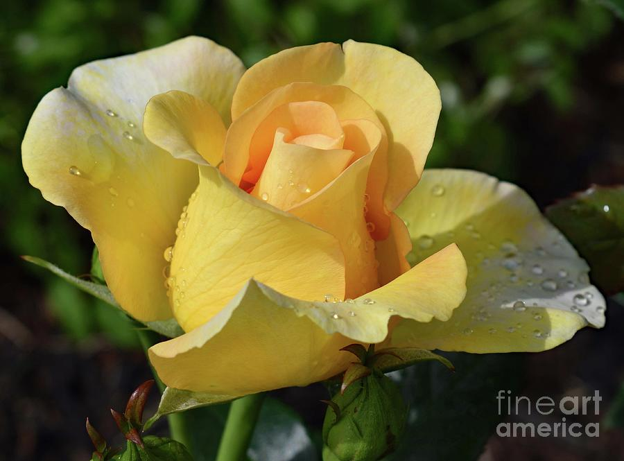 Impeccable Gold Struck Rose by Cindy Treger