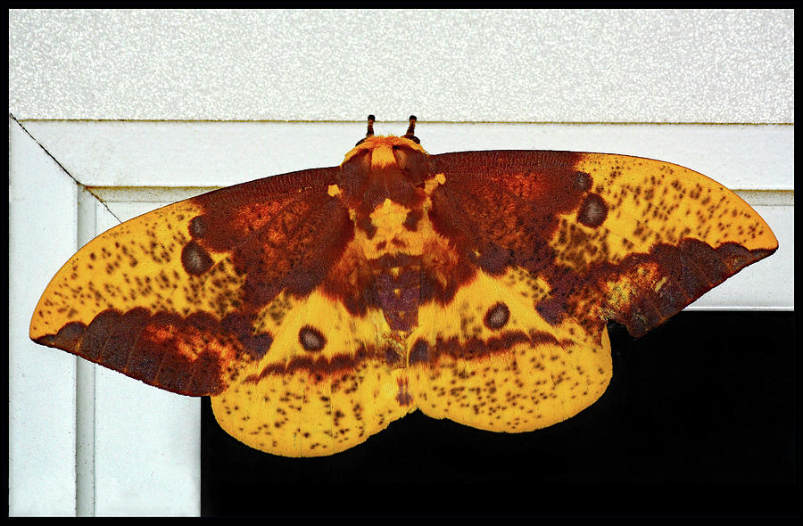 Imperial Moth by Constance Lowery