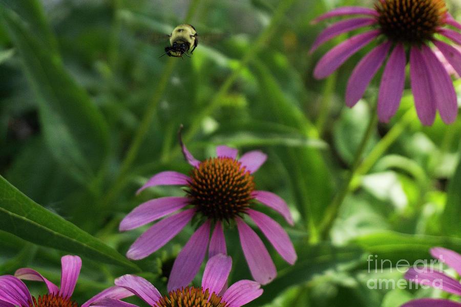 In Flight Bumblebee by Randall Saltys