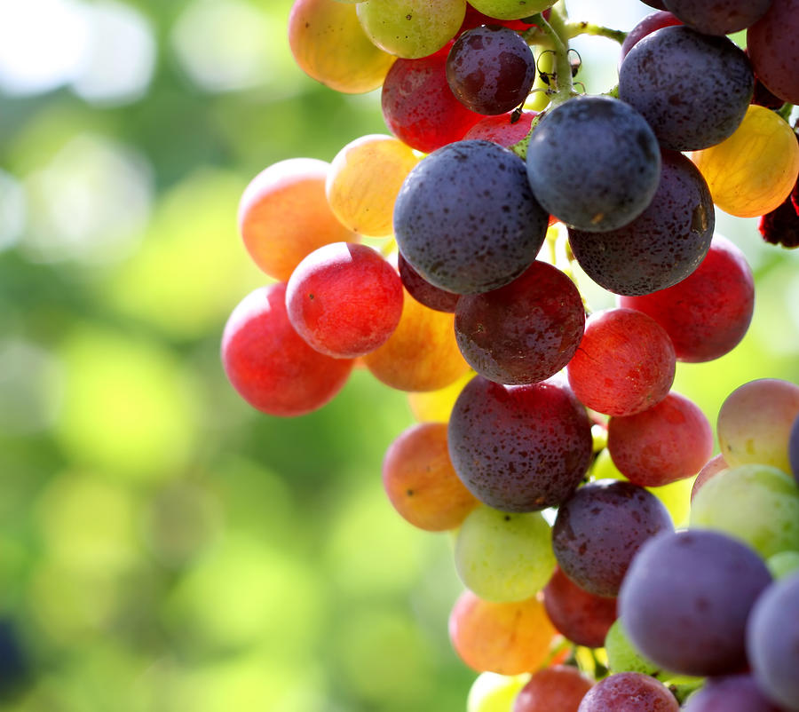 In Focus Shot Of Ripe Grapes In A Photograph by Pk-photos