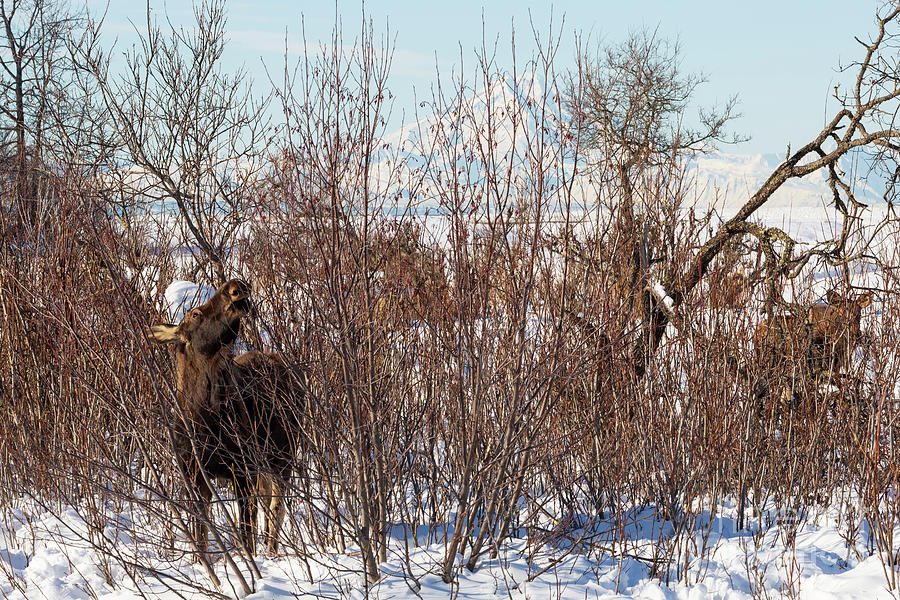 Moose Photograph - In Ninilchik A Moose Grazes In The Village In Late Winter by Louise Heusinkveld