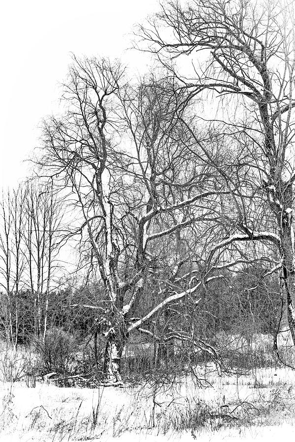 In Praise Of Willows 4 Bw Photograph