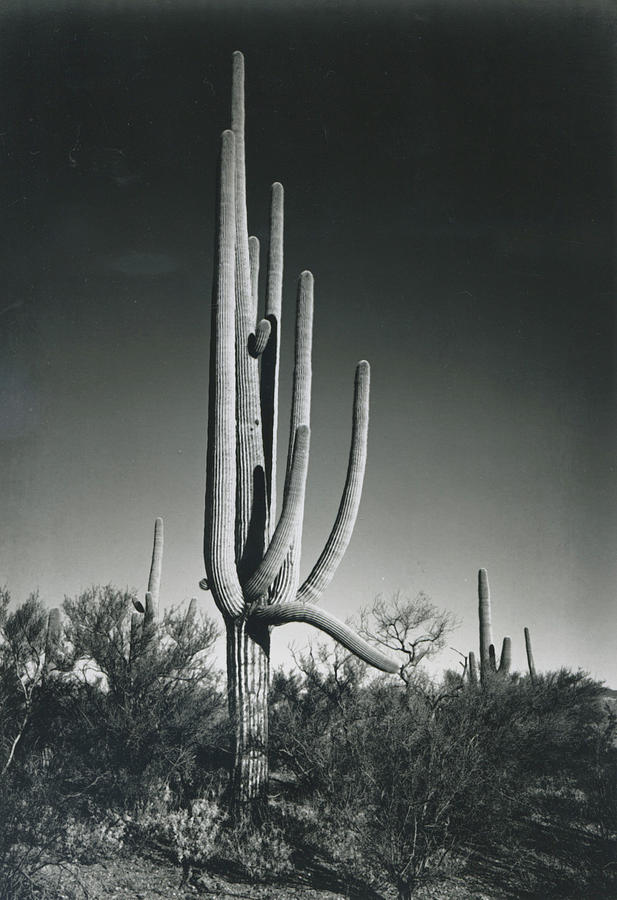 In Saguaro National Monument Photograph by Archive Photos