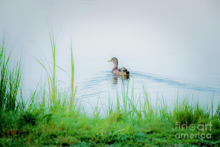 Nature Photograph - In The Ducks Wake by Sharon Mayhak
