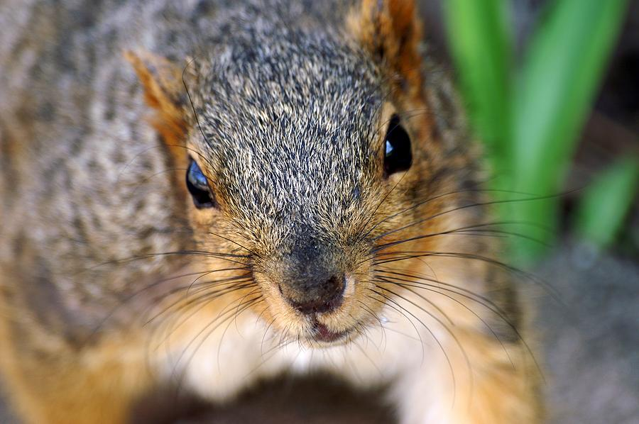 In Your Face Fox Squirrel by Don Northup