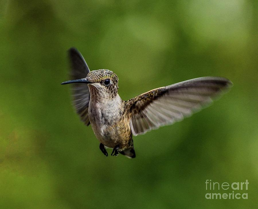 In Your Face Ruby-throated Hummingbird by Cindy Treger