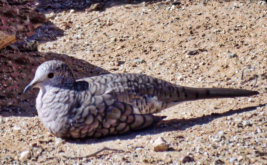 Inca Dove in the Sonoran Desert by Judy Kennedy