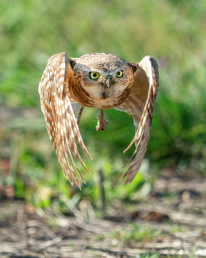 Incoming -- Burrowing Owl Hunting by Judi Dressler