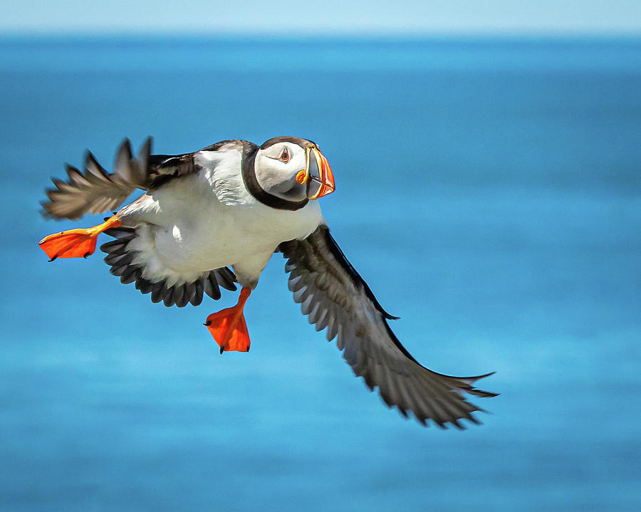 Incoming Puffin by Colin Chase