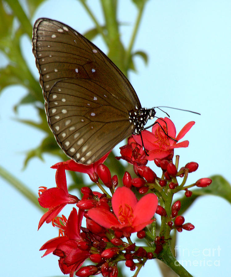 Indian Crow Butterfly by Steve Edwards