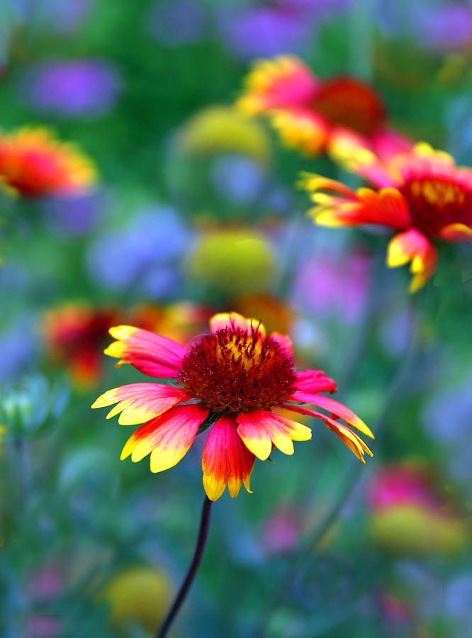 Indian Blanket Flower Photograph - Indian Blanket by Jessica Jenney