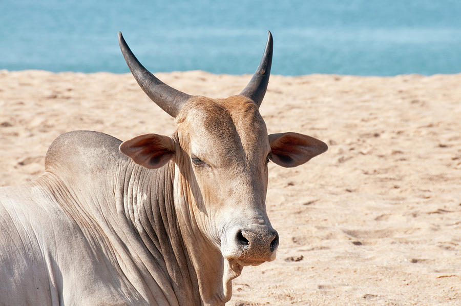 Indian Cow Photograph by Brettcharlton
