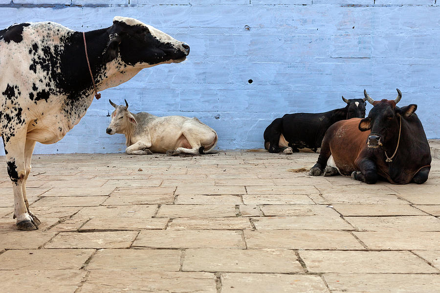Indian Cows Resting On The Ghats By A Photograph by Marji Lang
