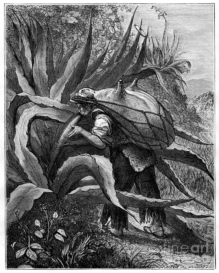 Indian Extracting Pulque, Mexico, 19th Drawing by Print Collector