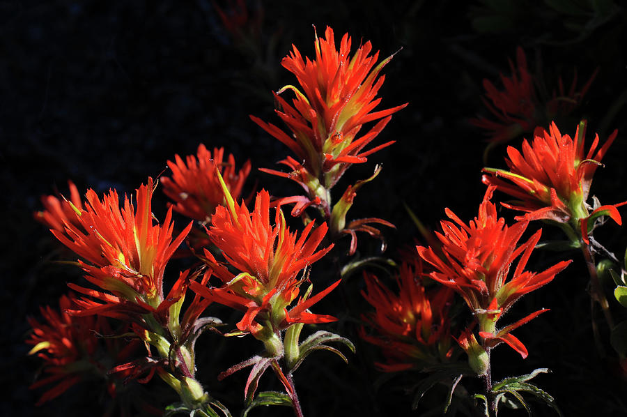 Indian Paintbrush In The Mountains by THEODORE CLUTTER