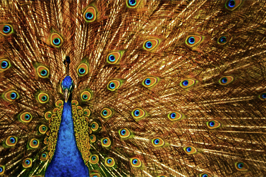 Indian Peacock Photograph by Photography By Jeremy Villasis. Philippines.