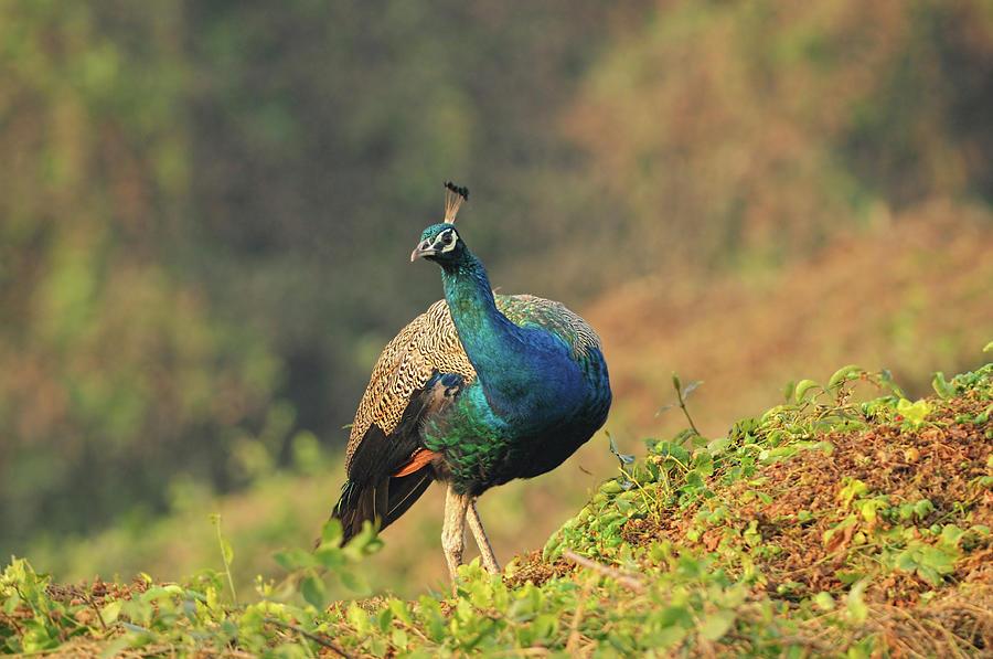 Indian Peafowl Photograph by Nishant Shah