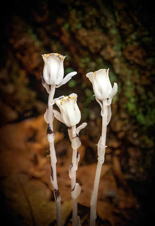 Indian Pipe Wildflower by Carolyn Derstine