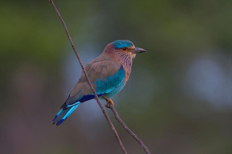 Indian Roller by DAVID HOSKING