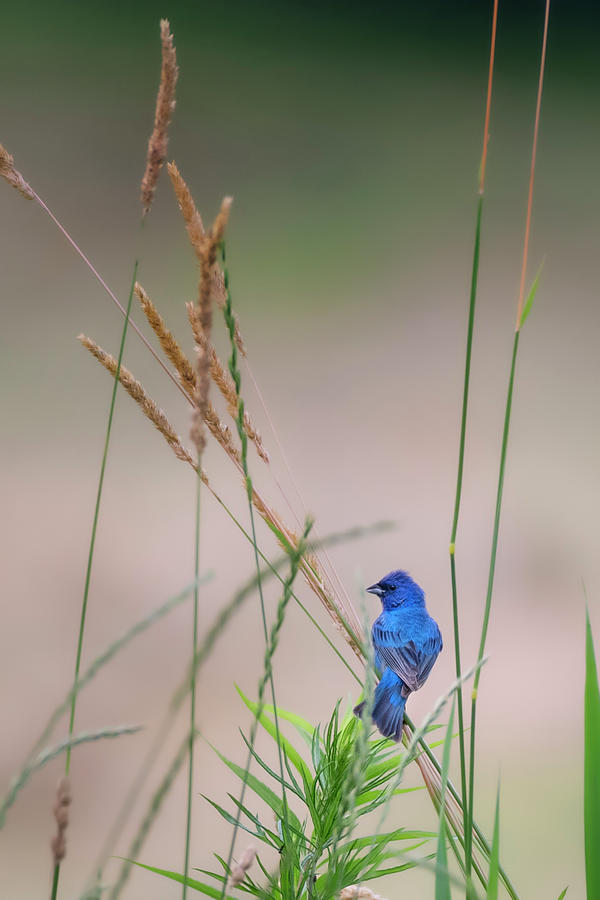 Indigo Bunting 2019 by Bill Wakeley