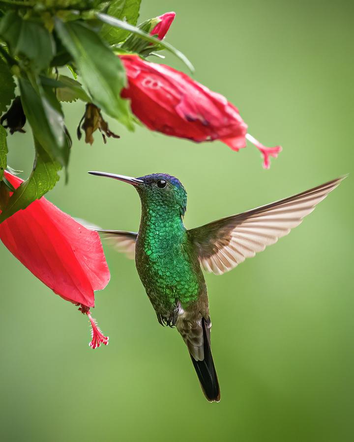 Indigo Capped Hummingbird Fincas Verdes San Antonio Tolima Colom by Adam Rainoff