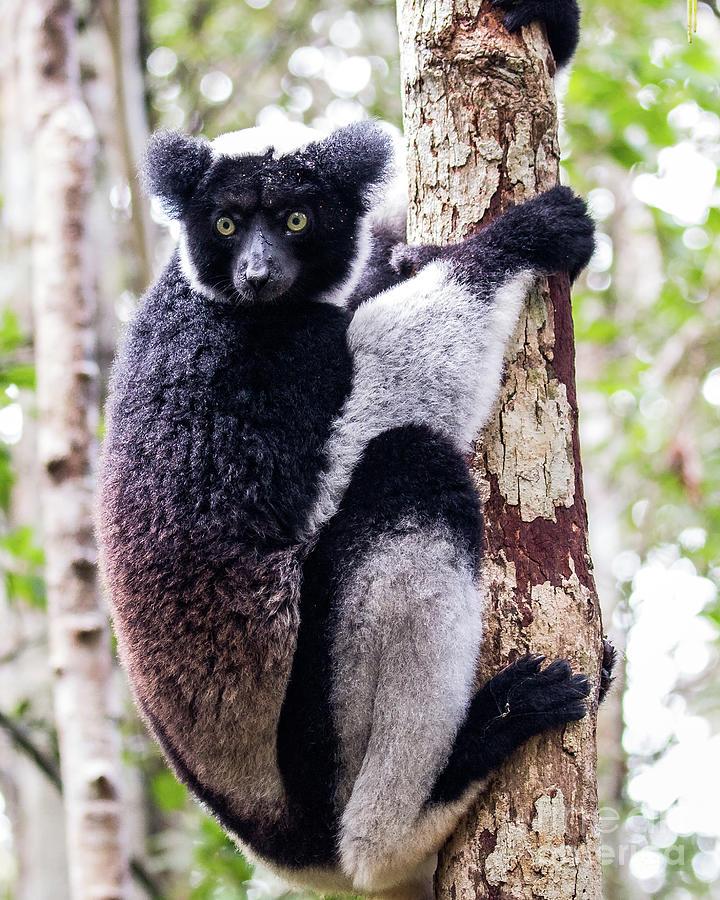 Indri Photograph