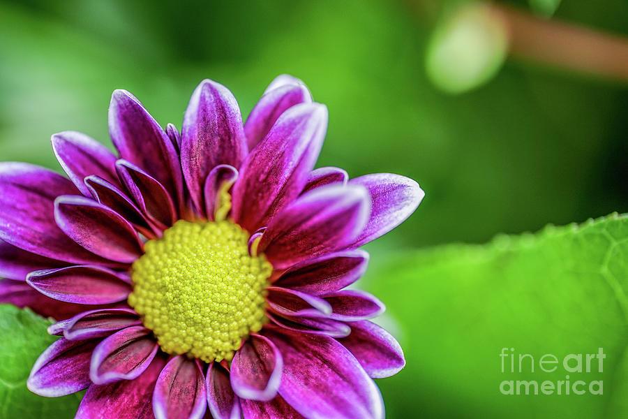 Innocent Bloom by Steven Santamour
