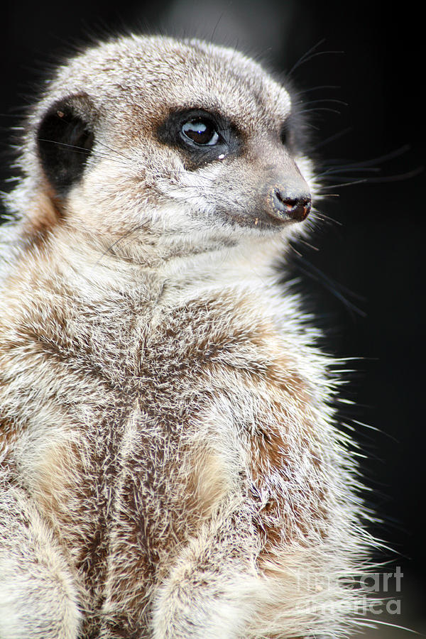 Small Photograph - Inquisitive Meerkat On The Lookout by Paul Banton