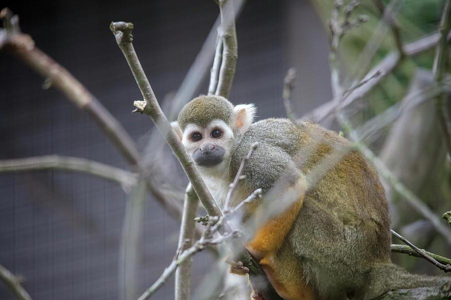 Inquisitive Squirrel Monkey by Cheltenham Media