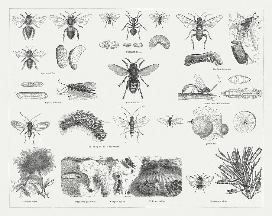 Insects Hymenoptera, Wood Engravings Digital Art by Zu 09