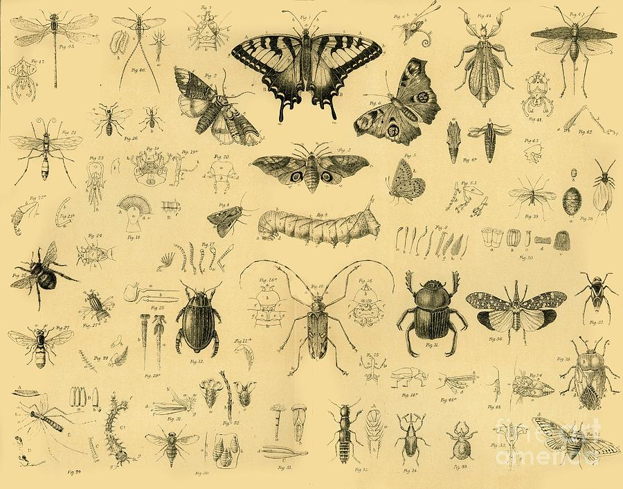 Insects Drawing by Print Collector