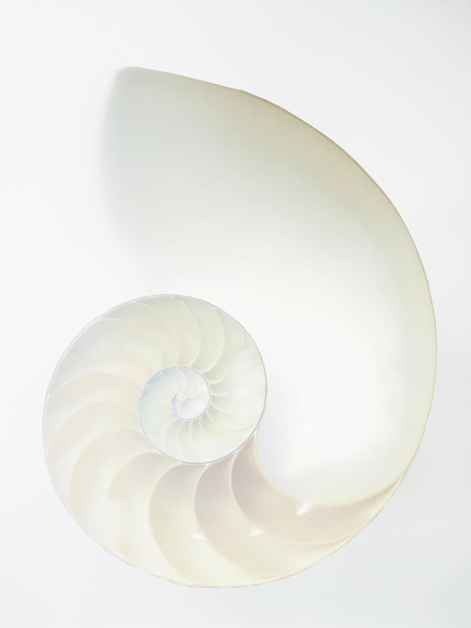 Inside Of Large White Nautilus Shell Photograph by Rick Lew