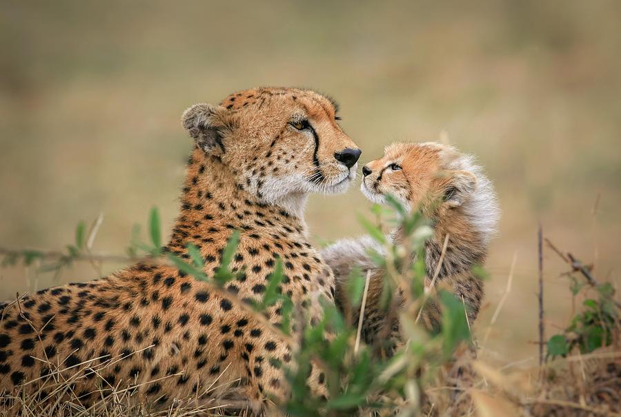 Cheetah Photograph - Instincts by Jeffrey C. Sink