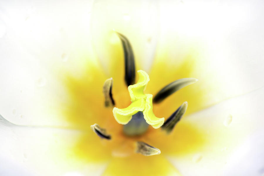 Internal Tulip by Don Johnson