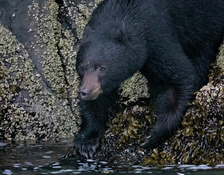 Intertidal Black Bear by Randy Hall
